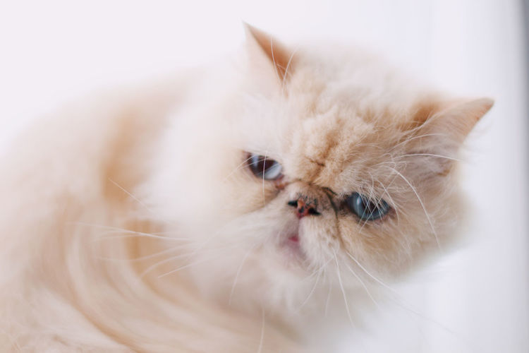 Cat Domestic Domestic Animals Pets Animal Themes Mammal Animal One Animal Domestic Cat Cat Feline Persian Cat  Indoors  White Color Vertebrate No People Portrait Close-up White Background Cute Looking At Camera Whisker Animal Head
