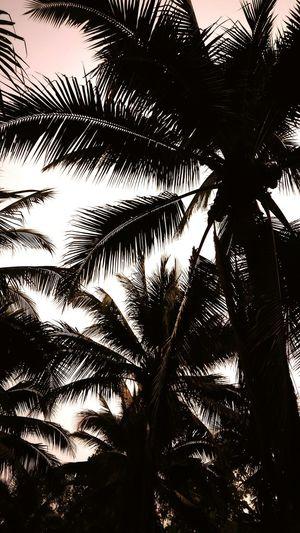 Coconut Trees Pandan