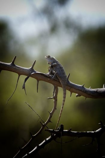 lizard echse Animal Wildlife Animal One Animal Reptile Animals In The Wild Nature Sri Lanka Travel No People Branch Animal Themes Outdoors Day