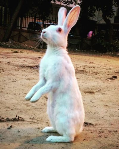 Rabbit 🐇 Standing Note5 Photography