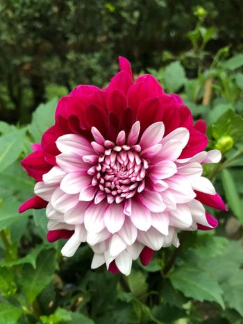 Biracial Mixed Race Flower Petal Beauty In Nature Nature Fragility Flower Head Pink Color Outdoors Day Focus On Foreground Freshness No People Growth Blooming Close-up Plant Zinnia