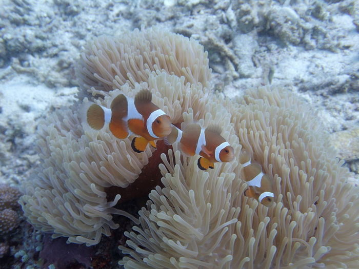 Clownfish synchronized swimming Animal Themes Animal Wildlife Animals In The Wild Clown Fish Coral Diving Photography Nature No People Sea Sea Anemone Sea Life Symbiotic Relationship UnderSea Underwater Underwater Photography Water