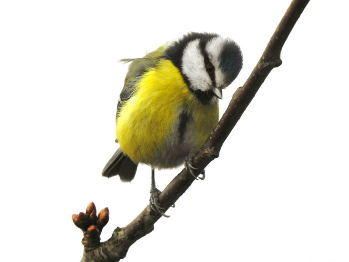Bird Animal Wildlife Perching One Animal Songbird  Animals In The Wild Cold Temperature Winter Yellow Nature Outdoors No People Snow Beauty In Nature Day Animal Themes Bluetit Close-up Tomtit