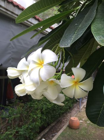 Beauty In Nature Blooming Close-up Day Flower Flower Head Fragility Frangipani Freshness Growth Leaf Nature No People Outdoors Periwinkle Petal Plant White Color