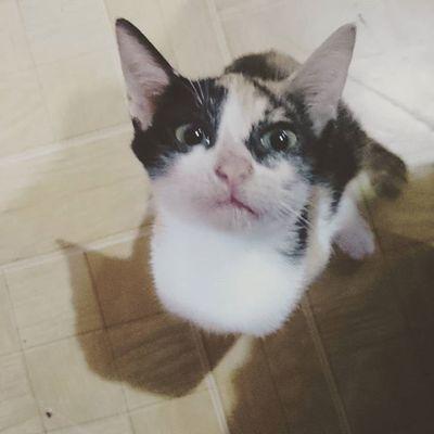Good eve everyone... meow night. Atlas Perrysons AmericanBobtailCrossBreed FelineDomesticus ICAN XPERIA Skillshare Gremlin