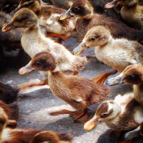 Lil Duck's walk in Line ! A Bunch Ducks Animal Themes Beaks Disciplined Ducklings In Line Little Ones ! Marching Ahead No People Tiny Animals Togetherness