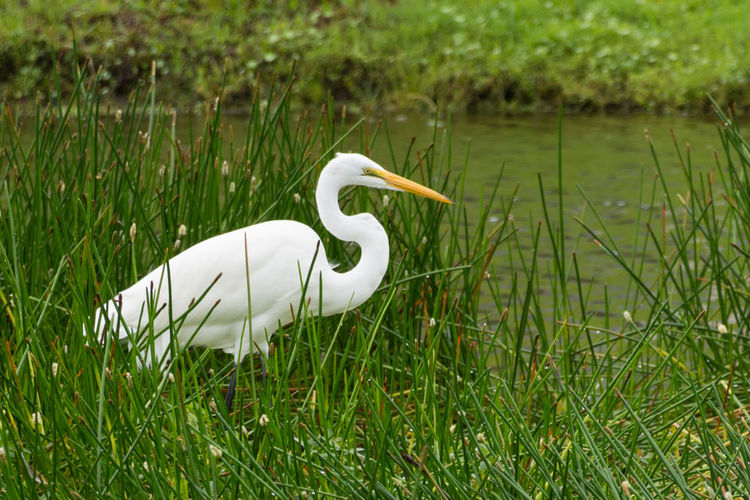 Great egret on grassy riverbank