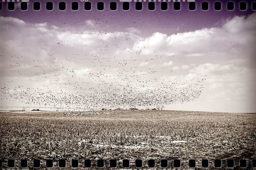 Snow Geese adapted quickly to use agricultural fields, which is one reason their populations are doing so well. During winter and migration, look for them in plowed cornfields or wetlands. Also check lakes, ponds, and marshes where they roost and bathe along shorelines and in open water. Snow Geese breed on Arctic tundra. Taking Photos Watching Birds Rural America Check This Out Old Camera From My Point Of View On The Road Snow Geese Clouds And Sky No Edit No Fun