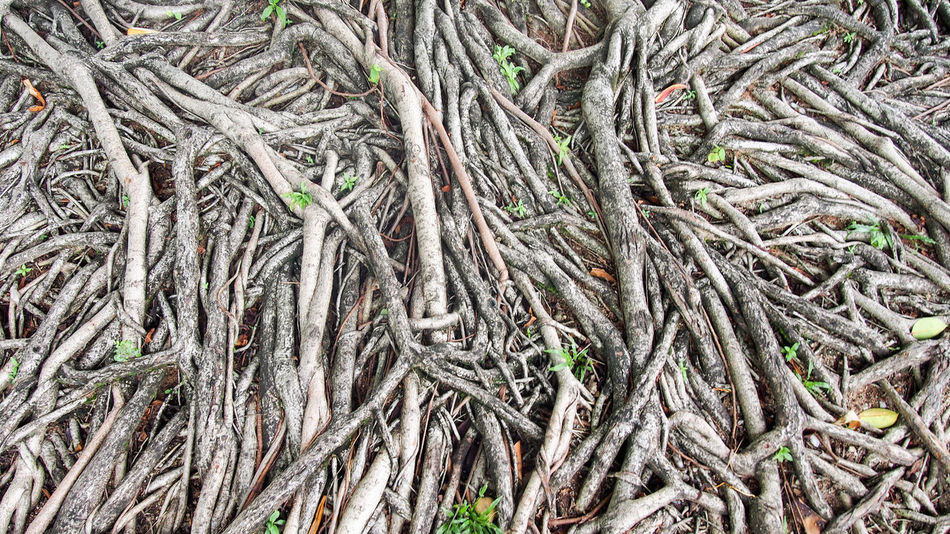 Abundant banyan root on the ground Flooring Growth Nature Plant Textured  Wall Abstract Abundance Backdrop Backgrounds Banyan Tree Roots Complexity Design Environment Forest Jungle Large Group Of Objects Nature No People Old Outdoors Pattern Root Stack Tree