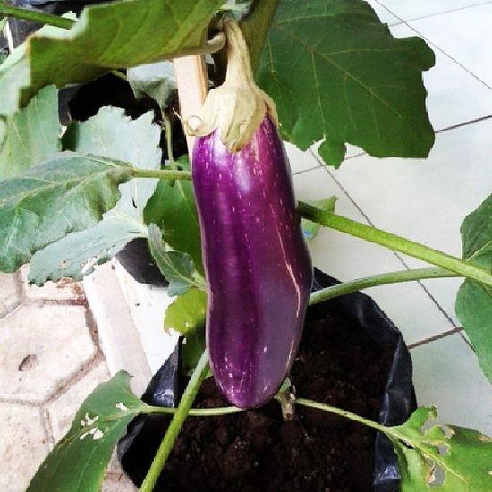 Such a lovely egg plant Vegetable Organik Urbanfarming Food Foodtography Instafood Instagood Purple Eggplant