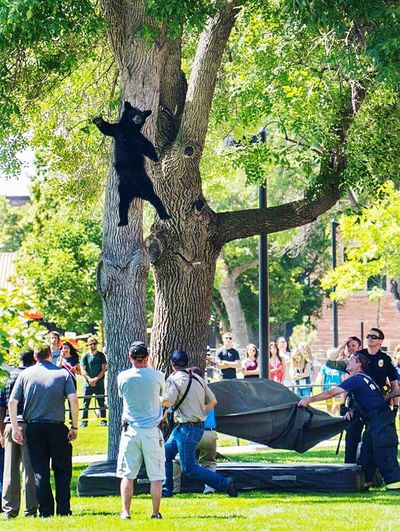 Falling Bear 2.0 at the University of Colorado Boulder. Bear Wildlife Wildlife & Nature Bears Falling Down Sleeping Bear Boulder Colorado University Campus University Of Colorado Boulder Panasonic DMC FZ1000 Bear Falling Tree Bears Galore Wildlifephotography Urban Wildlife Humor Wildlife Photography Close Encounters Curious Animals In The Wild Check This Out Moment