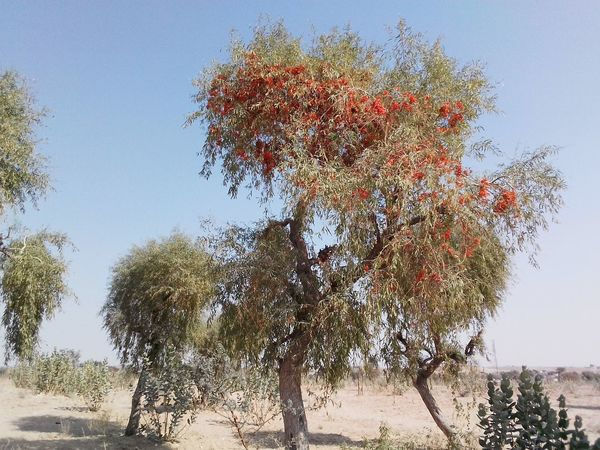 Desert landscape Rajasthan India Desert Plants Desert Beauty Rajasthan Beauty Rajasthan Landscape_photography Colourful Rajasthan Desert Landscape Desrt Scenes Trees Tree Nature Sky Day Outdoors No People Beauty In Nature Branch Close-up