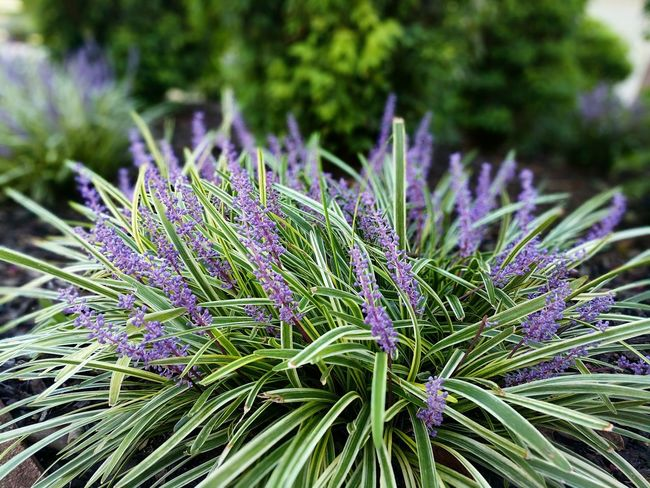 Decorative Plant Flower Purple Botany Nature Plant Herb No People Outdoors Living Organism Beauty In Nature Summer Plant Part Multi Colored Day Close-up Flower Head Decorative Grass