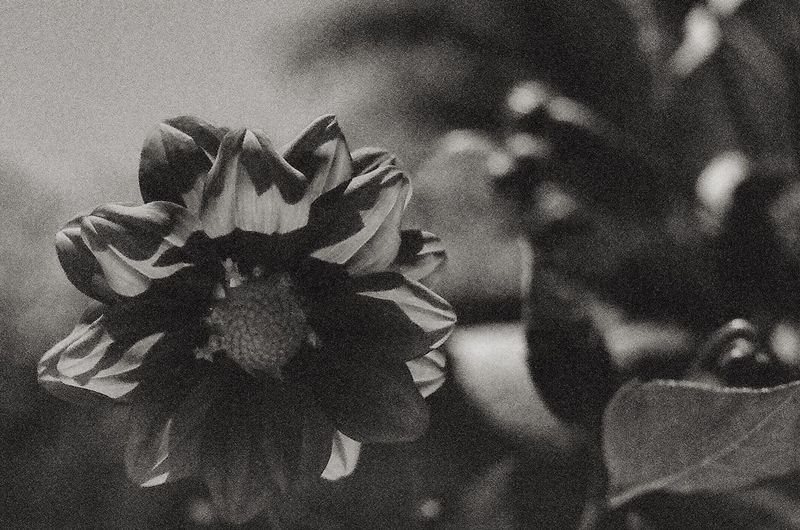 Dramatic black and white flower on 35mm film 35mm 35mm Film Film Photo Film Photography Film Dramatic Flower Black And White Flower Black And White Close-up Freshness Focus On Foreground Blooming Plant No People Day EyeEmNewHere