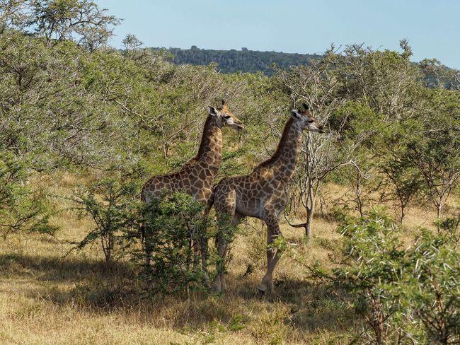Babies Animal Themes Animal Wildlife Animals In The Wild Beauty In Nature Cheetah Day Giraffe Grass Growth Mammal Nature No People Outdoors Safari Animals Sky Tree
