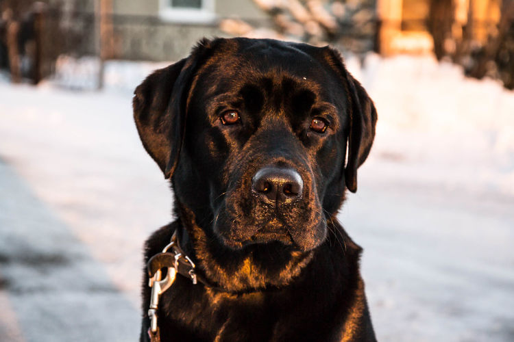 Portrait Of Black Dog Looking At Camera