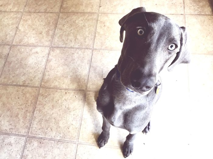 Cute Sweet Man's Best Friend Pet Weimaraner Good Boy Grey Dog Tiled Floor Dog Pets One Animal No People Animal Themes Domestic Animals High Angle View Looking At Camera Day Sitting Indoors