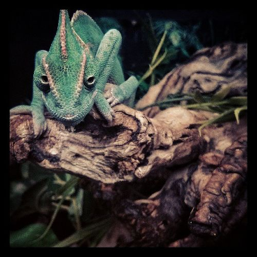 Karma Chameleon ...Zoo Pets Lizard Reptile Petstore Exotic Green Instagood Photooftheday Wildlife Eyes