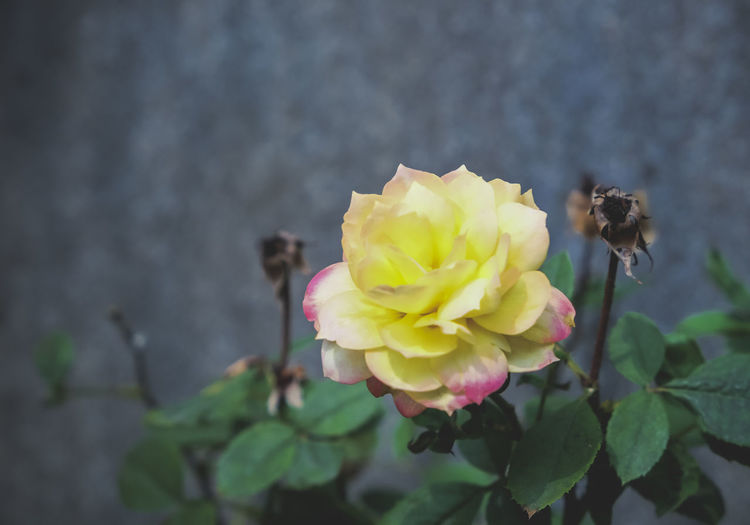 Animal Themes Animals In The Wild Beauty In Nature Bee Blooming Buzzing Close-up Day Flower Flower Head Focus On Foreground Fragility Freshness Growth Insect Nature No People One Animal Outdoors Petal Plant Rose - Flower Yellow