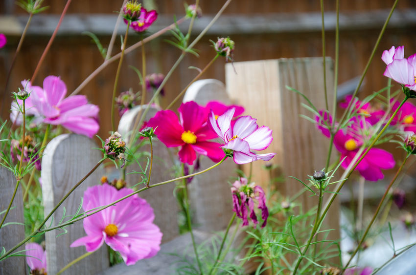 Cosmos Beauty In Nature Close-up Cosmos Bipinnatus Day Flower Flower Head Flowering Plant Focus On Foreground Fragility Freshness Growth Inflorescence Nature No People Outdoors Petal Pink Color Plant Plant Stem Purple Selective Focus Vulnerability