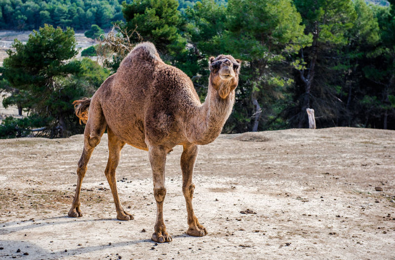 Full length of camel standing on land