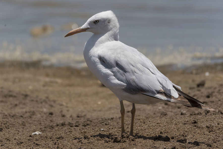 Slender-billed Gull Bird Animal Wildlife Animals In The Wild One Animal No People Outdoors Nature Close-up Day Bird Photos Full Length Beauty In Nature Seagull Sunny Waterfowl Beach Beak Sand Nature Birds🐦⛅ Sea Life Water Sky Feather  Animals In The Wild