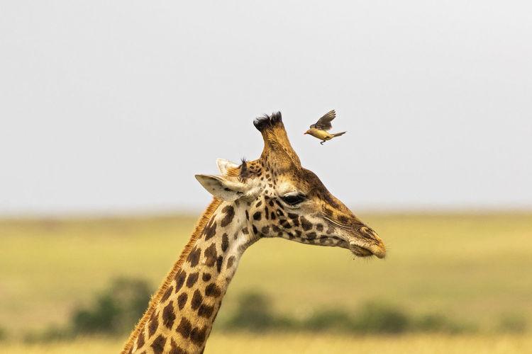 A bird lands on a  giraffe's head against clear sky