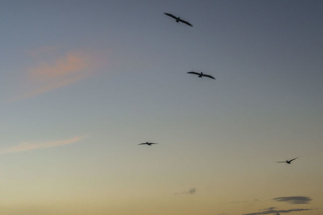 Birds Blue Flying Nature No People Orange Color Outdoors Pelican Silhouette Sky Sunrise Sunset