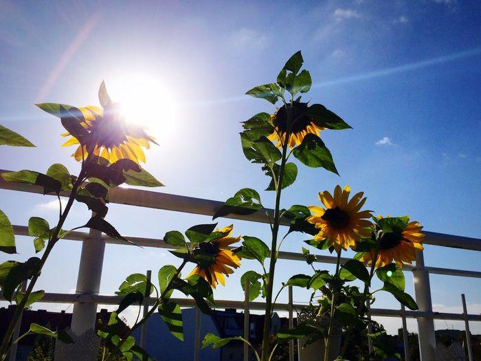 Sommer Sonne Sonnendeck und Sonnenblumen @ CrazyBunnyWG