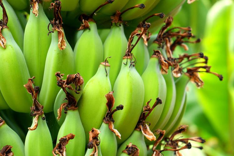 A bunch of organic green bananas hanging on a banana tree