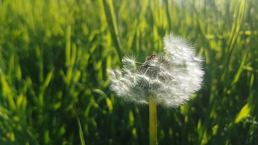 dandelion Focusobject Focus On Details Love Beautiful Fragility Fragile Filigran Flowers Filigrane Flower Close-up Grass Plant Green Color Dandelion Dandelion Seed Wildflower Softness Single Flower Plant Life In Bloom Blossom Thistle Dragonfly Pollination Botany