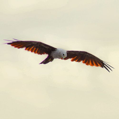 Flying Bird Spread Wings One Animal Animal Wildlife Animal Body Part Animals In The Wild Mid-air Animal Themes Bird Of Prey Vulture Outdoors Parrot No People Day Sky Nature Macaw
