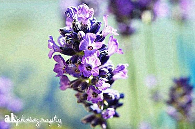 Lavender blossom Theseandthisphotography AkPhotography Photo Blogger Nature Photography Flowers Macro Photography Photography