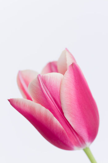 Close-up of pink flowers over white background