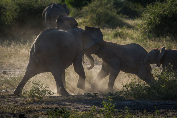 Elephants fighting on field during sunny day