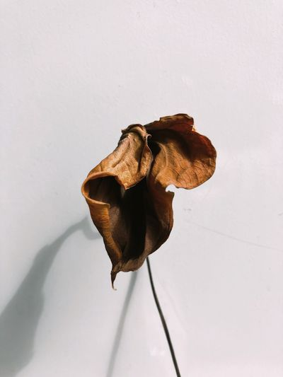 Close-up of wilted plant against white wall
