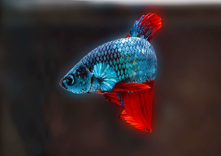 Siamese fighting fish,betta splendens,blue fish, black background, halfmoon betta.