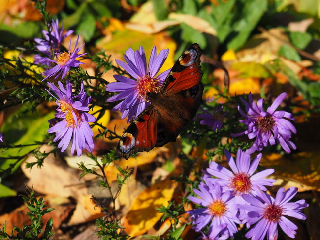 JezzyRabbitPhotography Flower Insect Purple Butterfly - Insect Plant Nature One Animal Animals In The Wild No People Animal Wildlife Animal Themes Outdoors Day Beauty In Nature Fragility Nature Reserve Close-up Flower Head Freshness