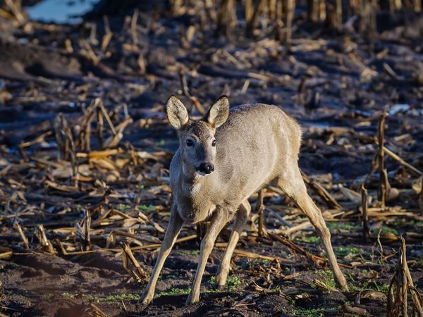 Reh Deer Sunset Close-up Animals In The Wild One Animal Animal Wildlife Animal Themes Nature Field Wildlife Nature Portrait Beauty In Nature EyeEm Selects Wild Schleswig-Holstein Germany