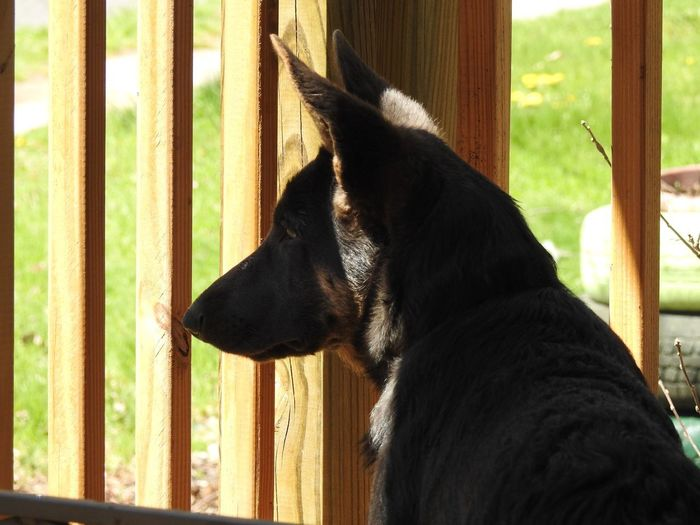 quiet and curious. On The Porch Porch Railing Blue German Shepherd Blue Shepherd Blue Dog German Shepherd Dog  The Thinker Curious A Quiet Moment Dog Domestic Animals Puppy Puppy Love GSD Gsdpuppy German Shepherd Puppy Pup Quiet Moments Pet Portraits Pets Corner Pets Of Eyeem Pet Pets Dog Window Home Interior Close-up German Shepherd Looking Through Window Purebred Dog