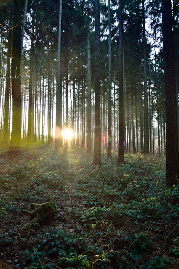 Winter Sunrays. Afternoon Beauty In Nature Day Enchanted Forest Forest Germany Green Color Green Color Growth Lensflare Nature No People Outdoors Sky Sunset Tree Tree Trunk Winter Woodas WoodLand Woods Woodscapes