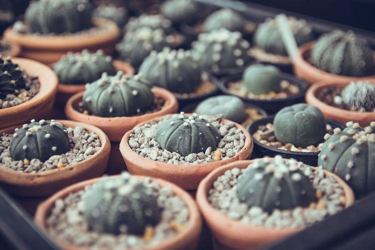 Cactus in put