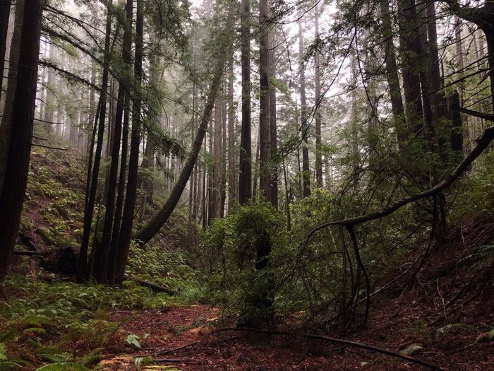 Rain walks Redwoods Redwood Forest The Sea Ranch Sea Ranch California Mist Fog Tree Trees Fern Ferns Vegetation Flora Forest Flora Biology Tree Plant Forest Land Growth No People Nature Beauty In Nature Non-urban Scene Scenics - Nature WoodLand Outdoors