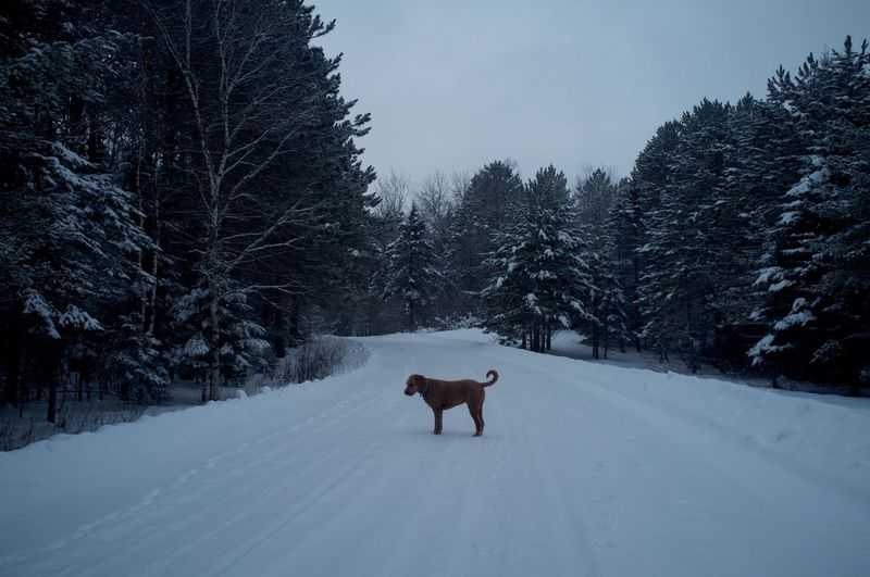 Goldendoodle standing on snowy field amidst trees against sky at dusk