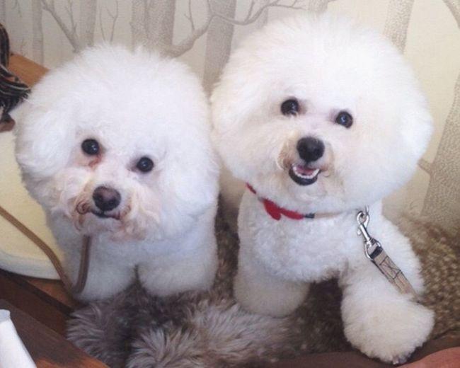 Ilovemydog Bichonfrise Ichigo Met her Sister Fafa ?? Twins ????