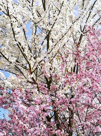 Arbres Arbres En Fleurs Flowers Day Nature Beauty In Nature Flower Sky Outdoors No People Lifestyles Lifecolors Springstyle Springs Spring Spring Flowers Spring Is Coming  Full Frame Backgrounds Low Angle View Close-up Branch