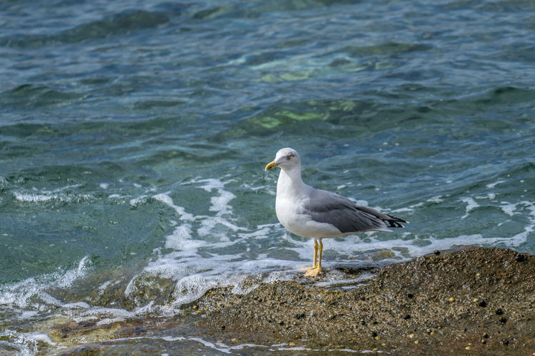 Seagull waiting patiently on the rocks of the shoreline Alone Freedom Animal Themes Animal Wildlife Animals In The Wild Aqua Bird Blue Day Environment Fauna Nature No People Ocean One Animal Outdoor Outdoor Photography Outdoors Portrait, Real Life Sea Seabird Seagull Seaside Water