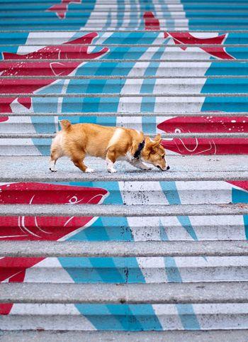 Discover Your City Explore Sniff Fish Stairs Street Art Ottawa Pembroke Welsh Corgi Corgi Mammal No People Vertebrate Domestic Animals Pets One Animal Red Full Length Multi Colored
