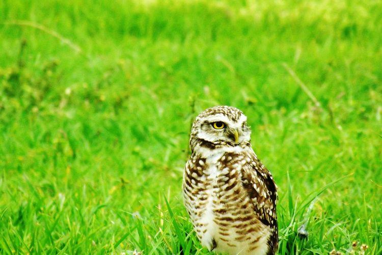 Owl perching on grassy field