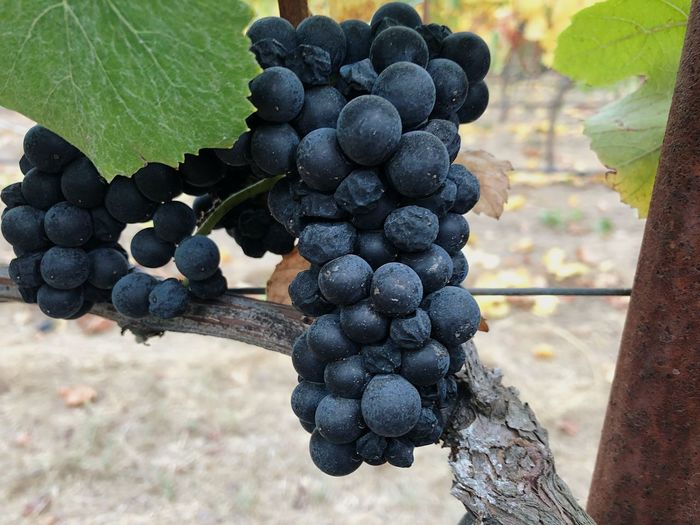 In search of the perfect cluster Divinewine Grapes On The Vine Pinot Noir Grapes Harvest Vineyards  Sonoma County Explore Wine Country Explore California Winemixmedia Fruit Growth Food And Drink Food Grape Healthy Eating Vineyard